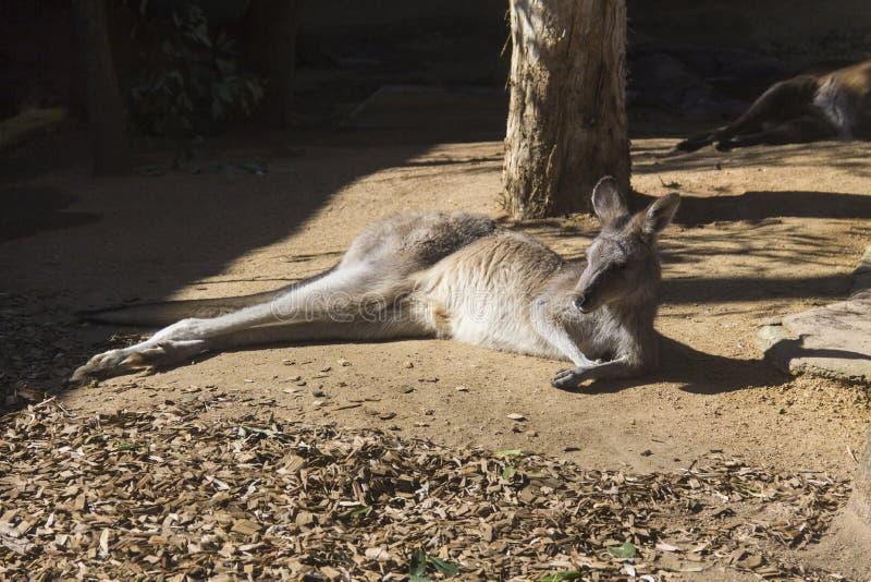 Canguru preguiçoso em Sydney Zoo fotos de stock royalty free