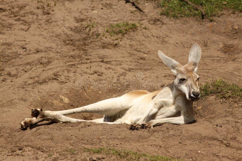 Canguru preguiçoso que refrigera na terra fotografia de stock royalty free