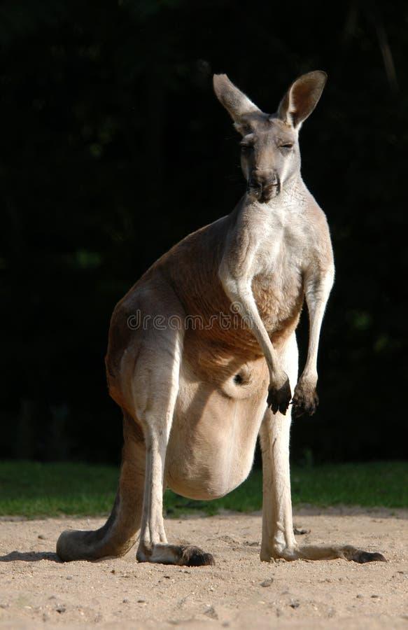 Canguru vermelho fotos de stock