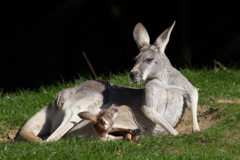 Canguru vermelho Joey no malote que olha a mãe Meme animal bonito foto de stock royalty free