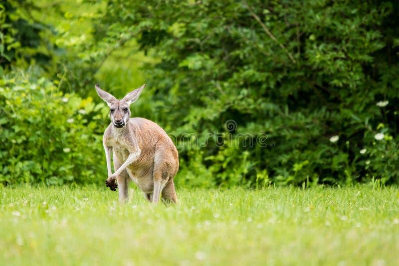Canguru vermelho no campo fotos de stock