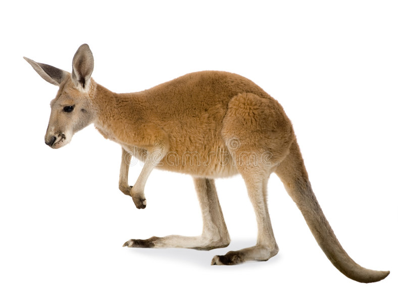 Canguru vermelho novo (9 meses) - rufus do Macropus fotos de stock royalty free