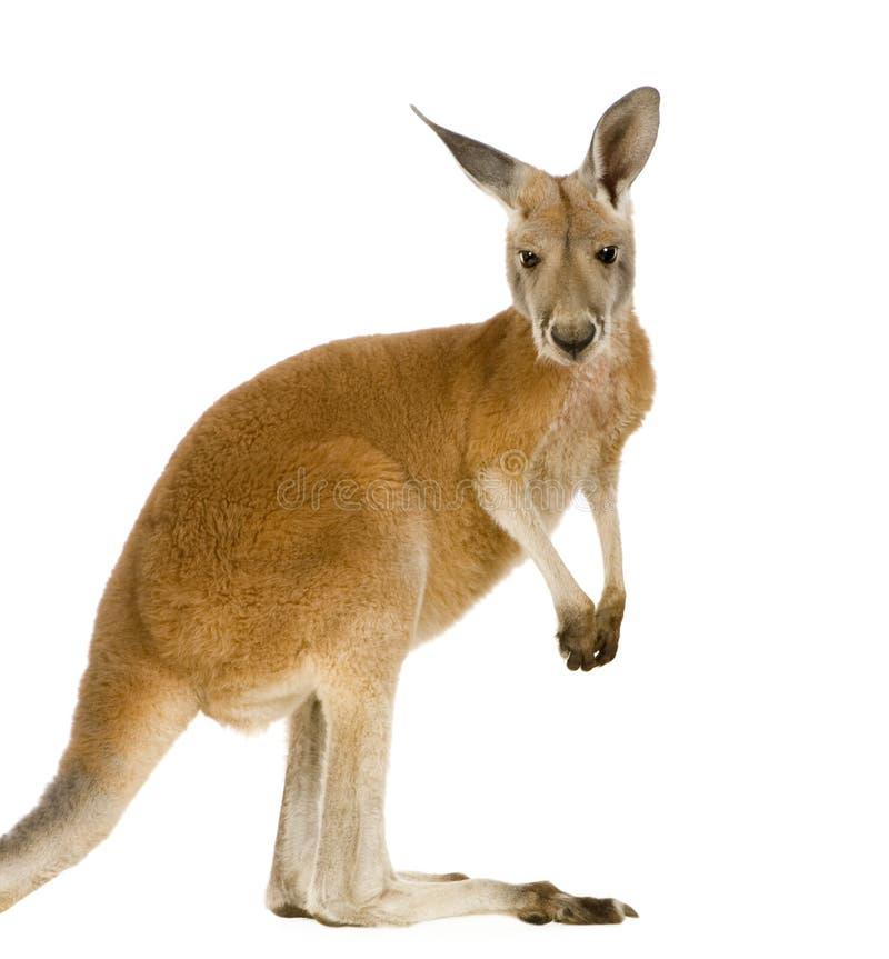 Canguru Vermelho Novo (9 Meses) - Rufus Do Macropus Fotografia de Stock
