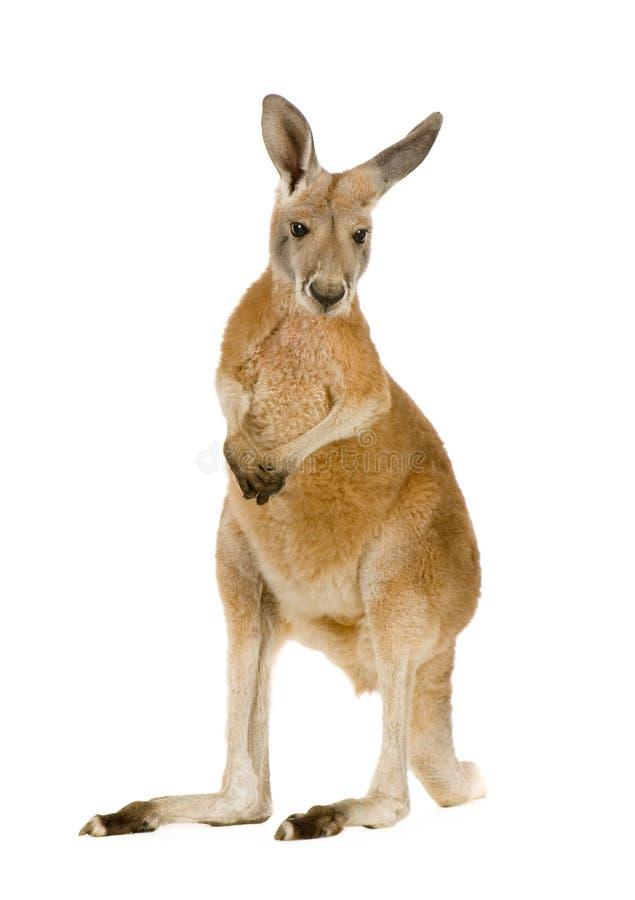 Canguru vermelho novo (9 meses) - rufus do Macropus imagem de stock