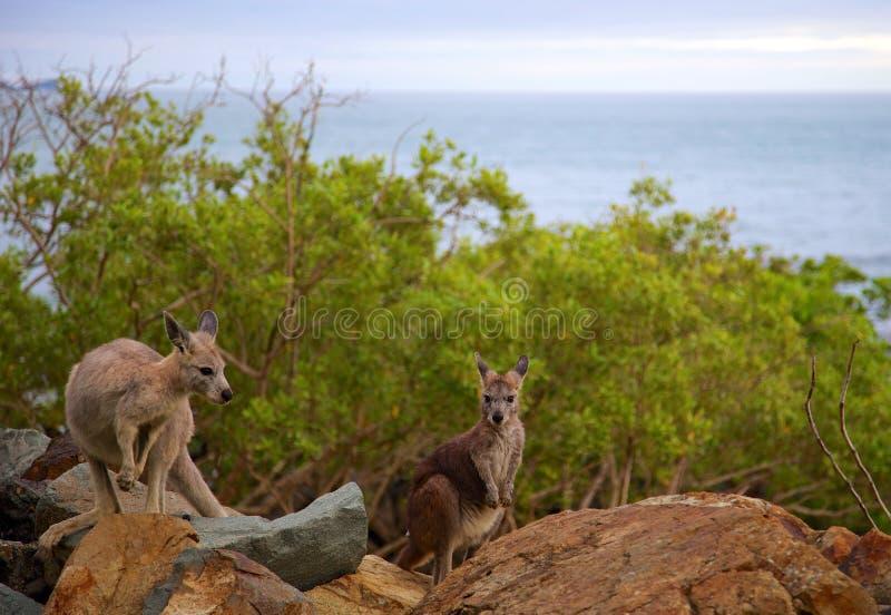 Cangurus australianos na ilha fotos de stock royalty free