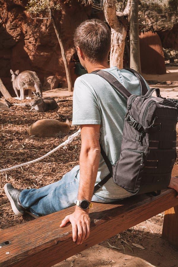 Cangurus de observação do homem novo em Sydney foto de stock