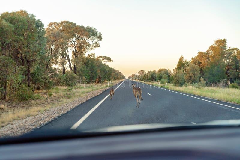 Cangurus em uma estrada australiana imagem de stock royalty free
