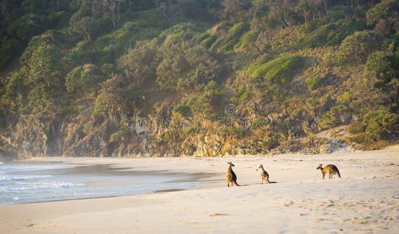 Cangurus na praia imagem de stock