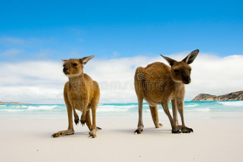Cangurus na praia branca da areia imagens de stock