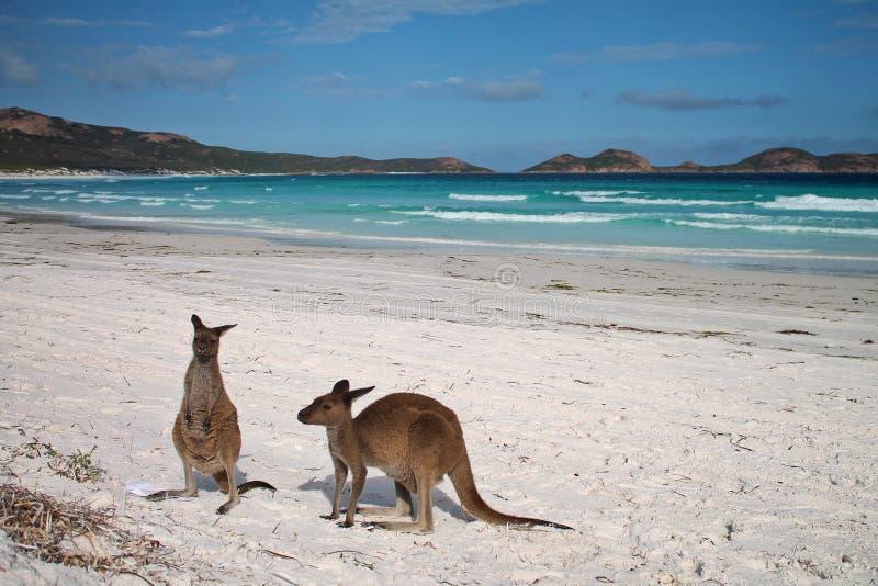 Cangurus na praia na frente do cenário do oceano em Lucky Bay, Austrália Ocidental fotos de stock royalty free