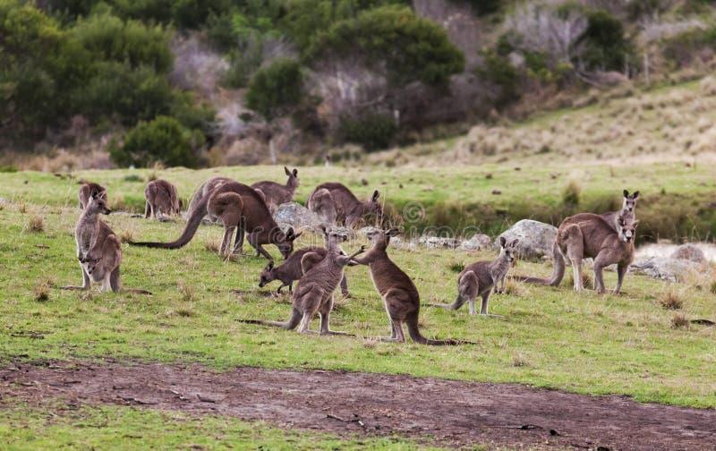 Cangurus no por do sol no parque nacional de Eurobodalla austrália imagens de stock