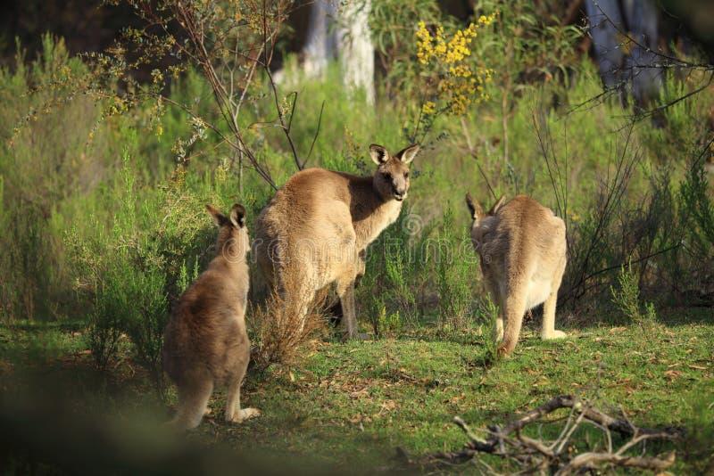Cangurus selvagens no bushland imagens de stock