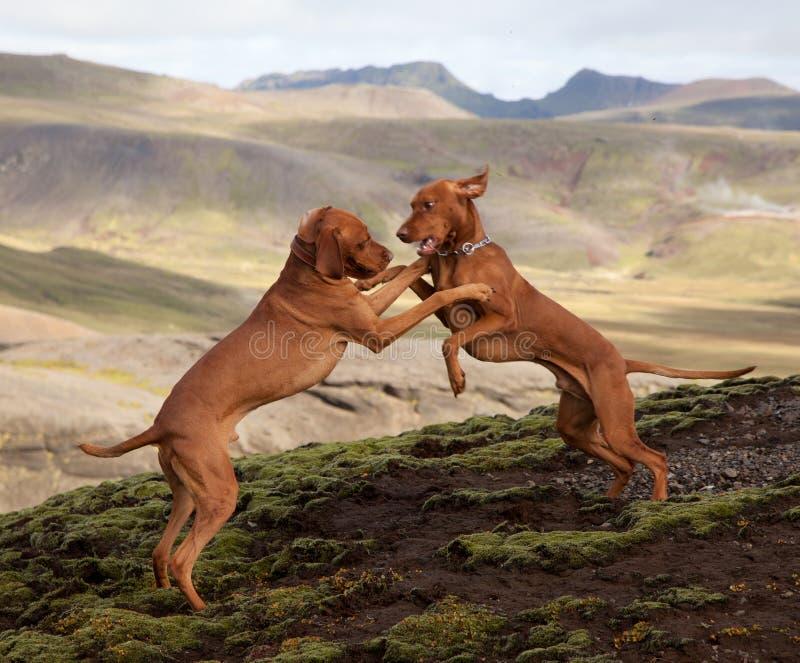 Cani fotografia stock libera da diritti