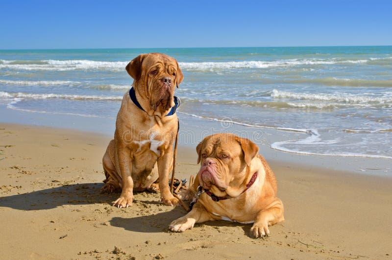 Cani alla spiaggia fotografia stock