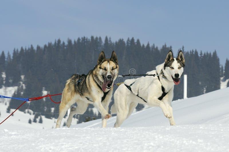 Cani allegri nella montagna immagine stock