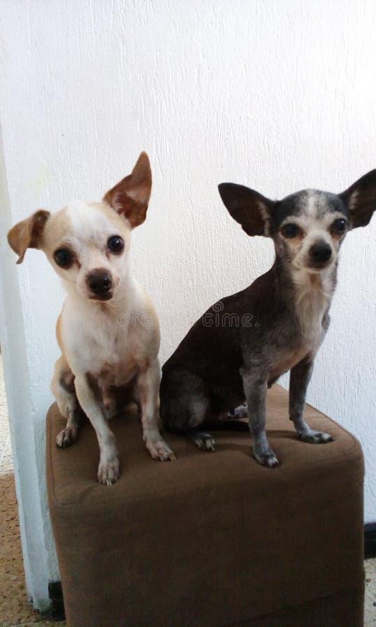 Cani amorosi immagini stock