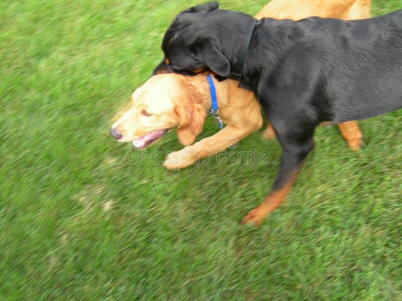 Cani attivi fotografia stock