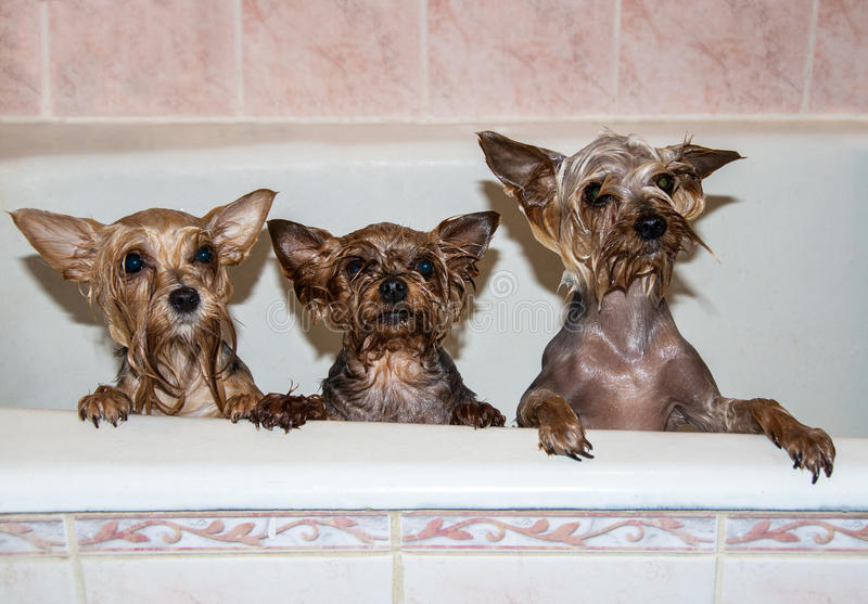 Cani Bagnati Svegli Nel Bagno Fotografia Stock - Immagine di ...