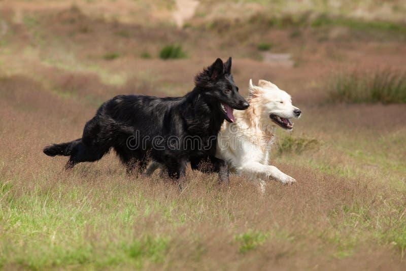 Cani in bianco e nero che corrono insieme fotografia stock