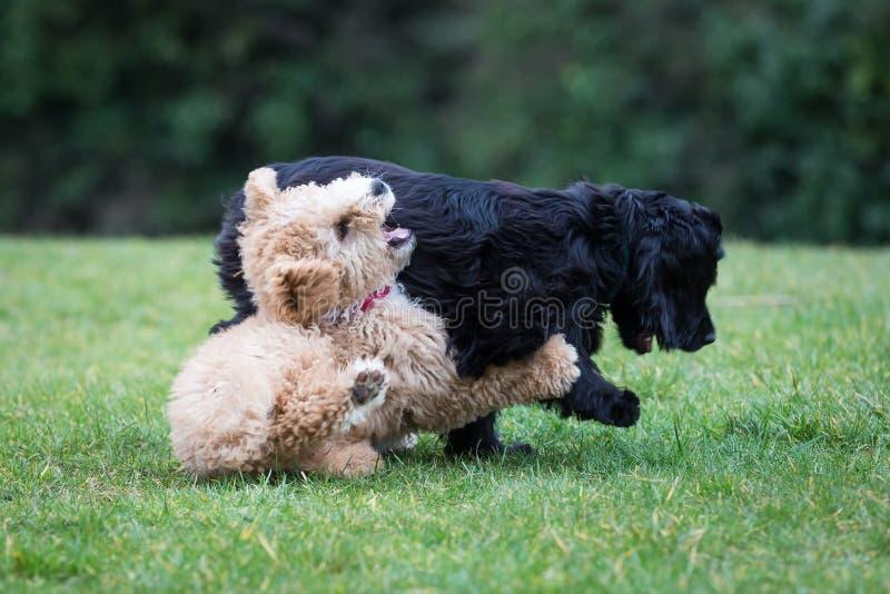 Cani che corrono e che giocano fotografia stock