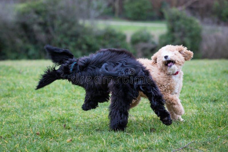 Cani che corrono e che giocano fotografia stock libera da diritti