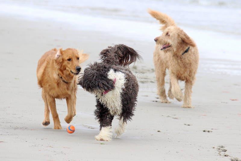 Cani che giocano con una palla alla spiaggia immagini stock libere da diritti