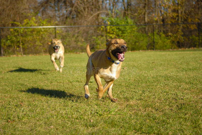Cani che si inseguono fotografia stock