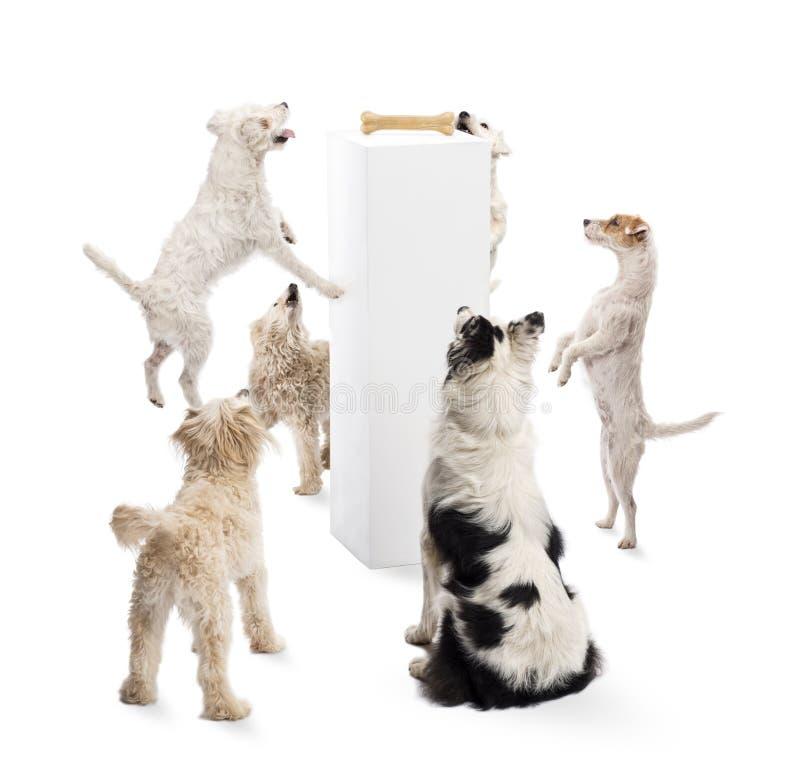 Cani che si siedono, saltare, esaminante un osso fotografia stock libera da diritti