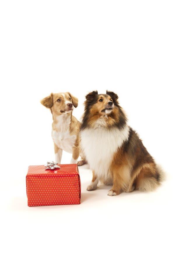 Cani con un presente fotografia stock