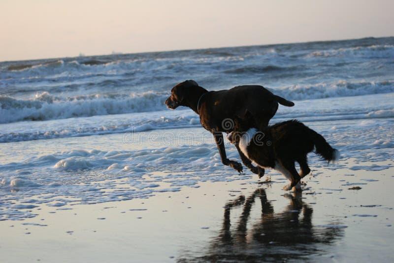 Cani correnti fotografia stock