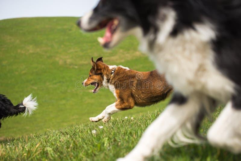 3 cani da pastore stanno correndo giù il prato fotografia stock
