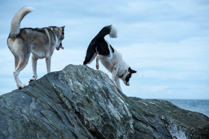 Cani dei husky che scavalcano le rocce immagine stock libera da diritti