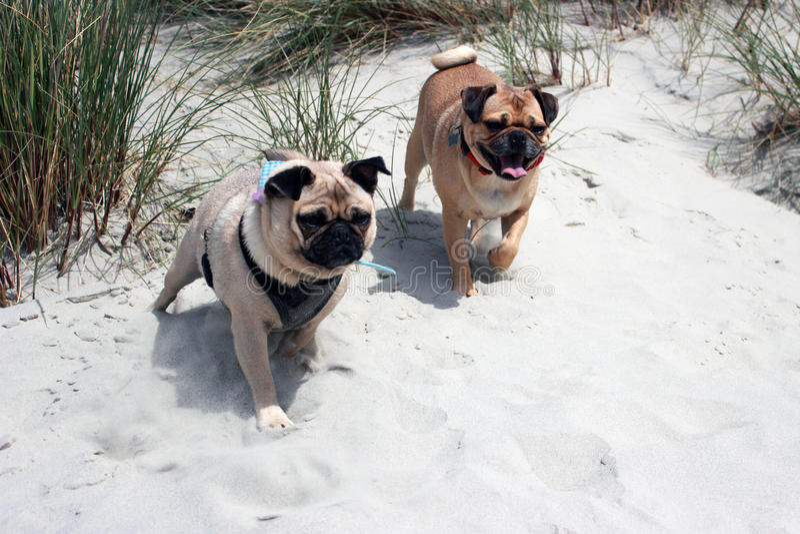 Cani del carlino su un'esplorazione della spiaggia fotografie stock libere da diritti