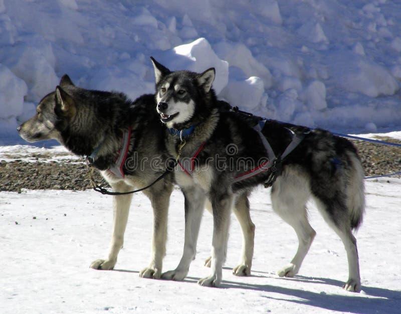 Cani del cavo immagini stock libere da diritti