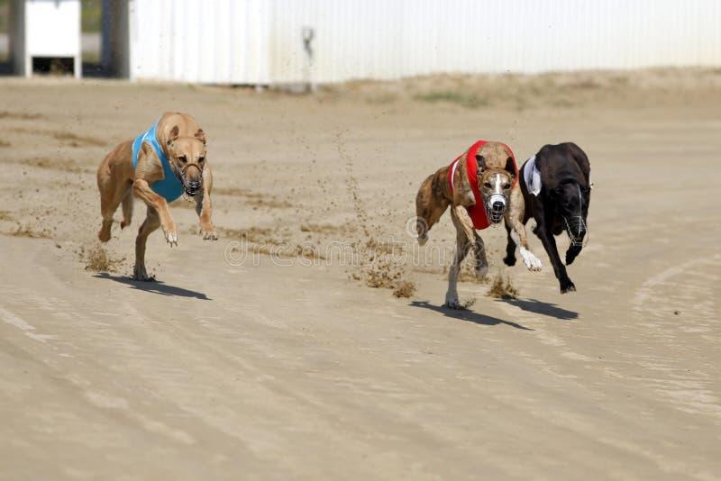 Cani del corridore all'inizio della corsa di cani immagini stock libere da diritti