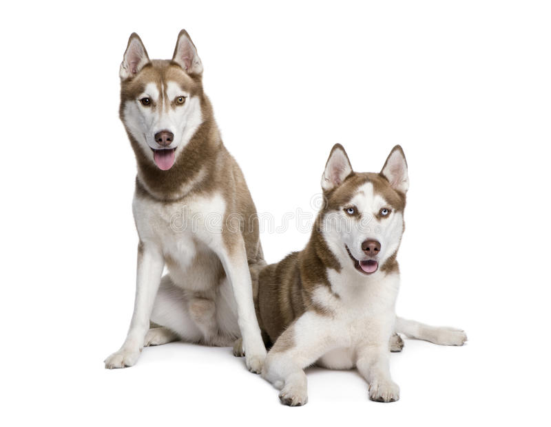 Cani del husky che si siedono davanti alla priorità bassa bianca fotografia stock
