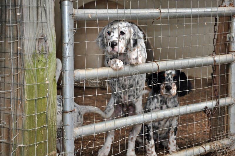Cani del setter inglese immagine stock immagine di kennel for Cabina nelle montagne della carolina del nord