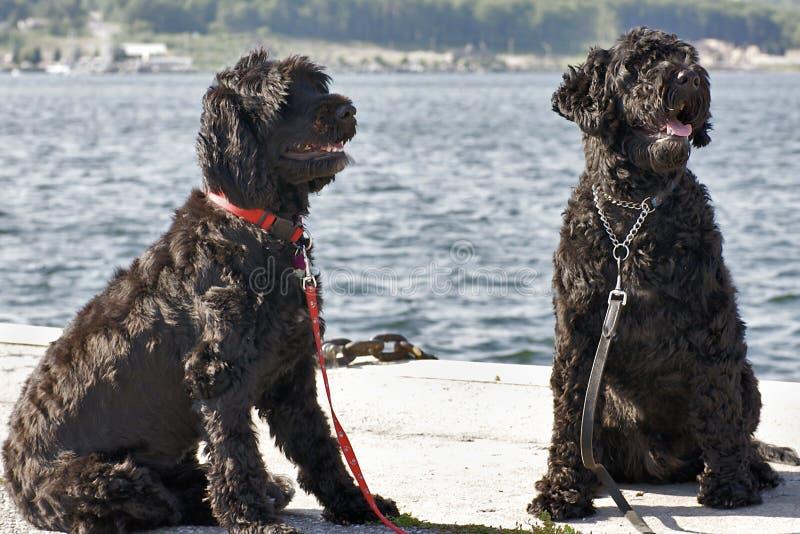 Cani di acqua portoghesi fotografie stock