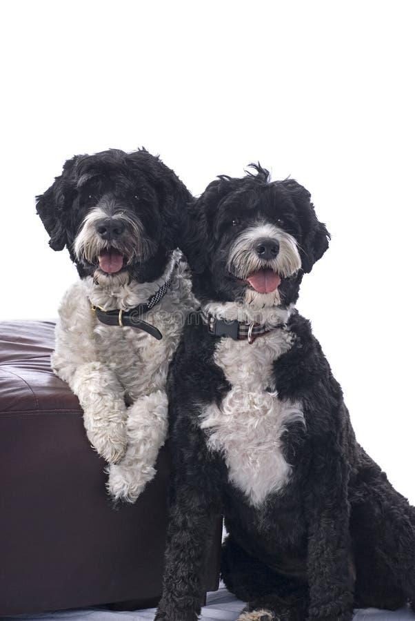 Cani di acqua portoghesi fotografia stock
