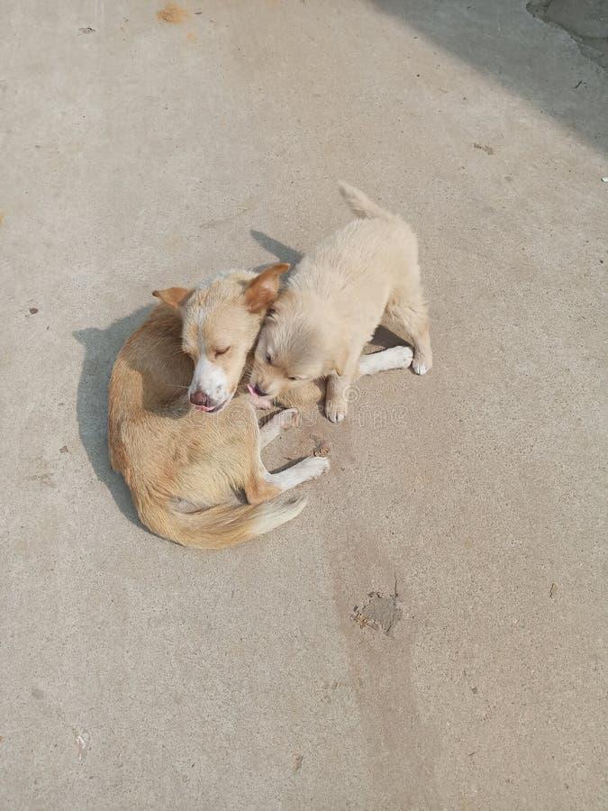Cani di amore fotografia stock