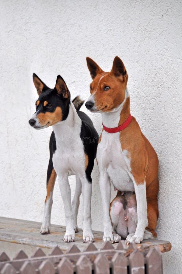 Cani di Basenji fotografie stock libere da diritti