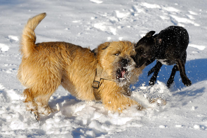 cani di combattimento fotografie stock libere da diritti