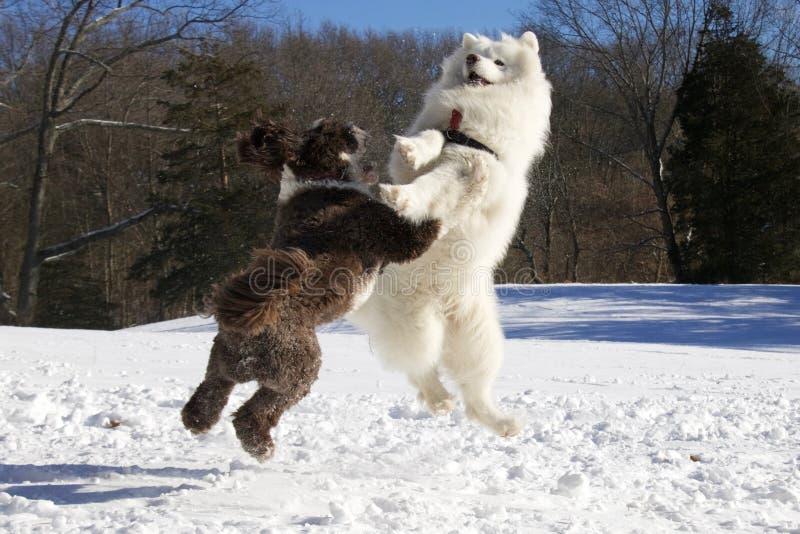 Cani di combattimento del gioco di inverno immagine stock