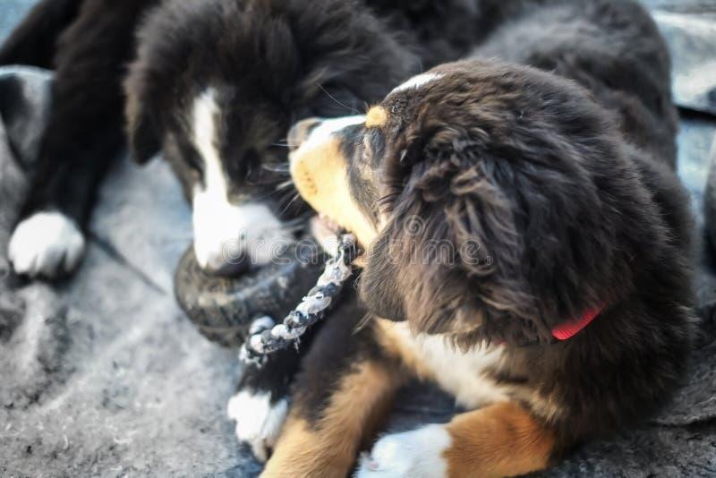 Cani di cuccioli di Mira fotografia stock