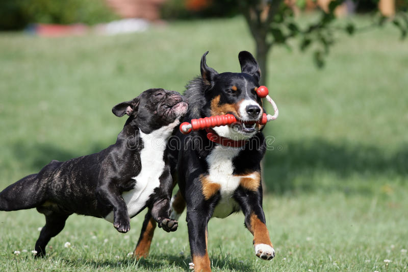 Cani di gioco selvaggi immagine stock