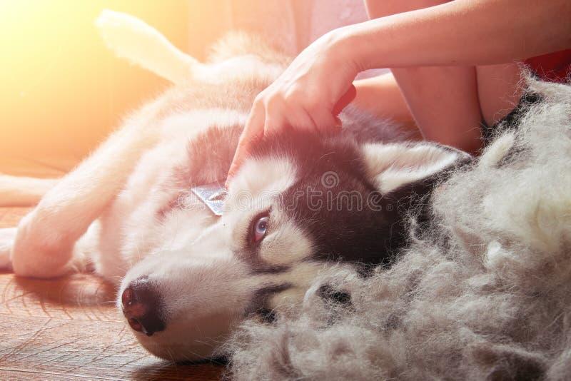 Cani di muta di concetto Lana del pettine del proprietario con il husky siberiano Il cane del husky si trova sul pavimento di leg fotografie stock