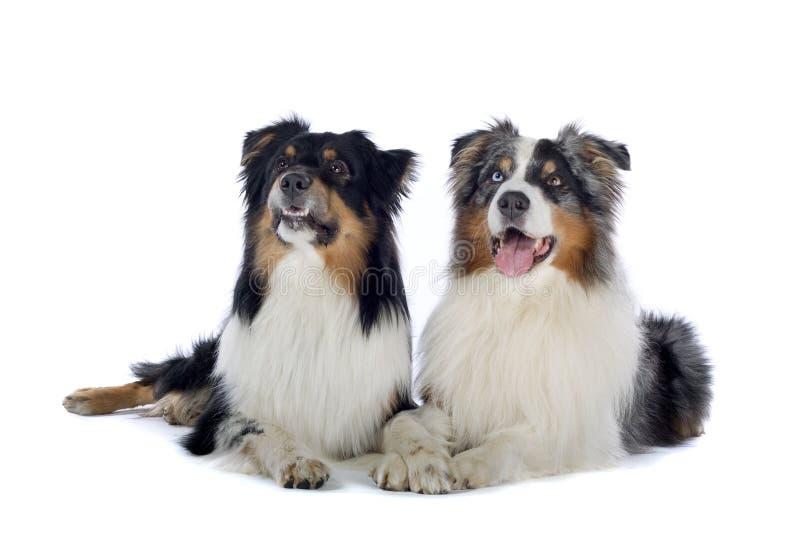 Cani di pastore australiani immagini stock