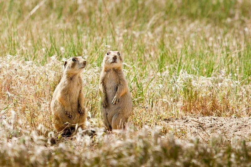 Cani di prateria dell'Utah fotografie stock