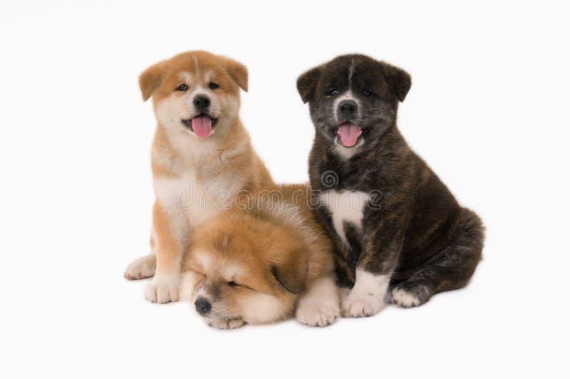 Cani di Puppie immagini stock