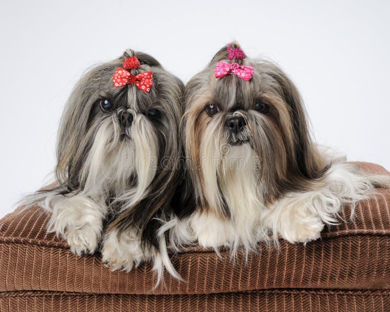 Cani di Shih Tzu immagini stock